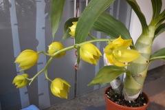 03-Cycnodes-Jumbo-Puff-ramo-floreale