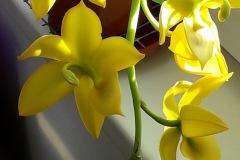 06-Cycnodes-Jumbo-Puff-fiori