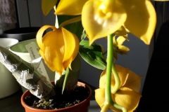 07-Cycnodes-Jumbo-Puff-fine-fioritura
