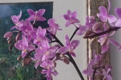 02 Phalaenopsis equestris