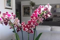 03 Phalaenopsis rossa