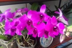 06 Dendrobium Phalaenopsis