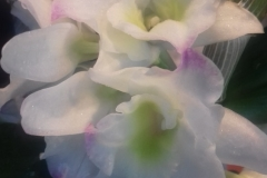 08 Dendrobium nobile