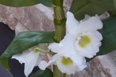 10 Dendrobium nobile