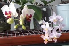 12 Phalaenopsis Brescia