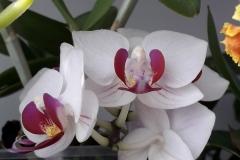 22 Phalaenopsis Brescia