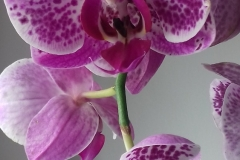 24 Phalaenopsis Federico