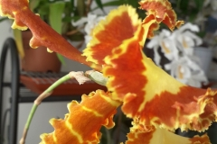 25 Psychopsis Mariposa Special