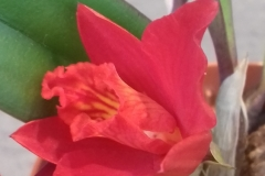 28 Cattleya Red Doll