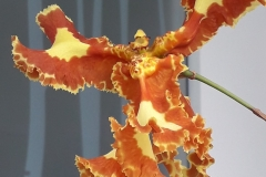 35 Psychopsis Mariposa Special