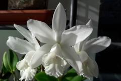 36 Cattleya int alba